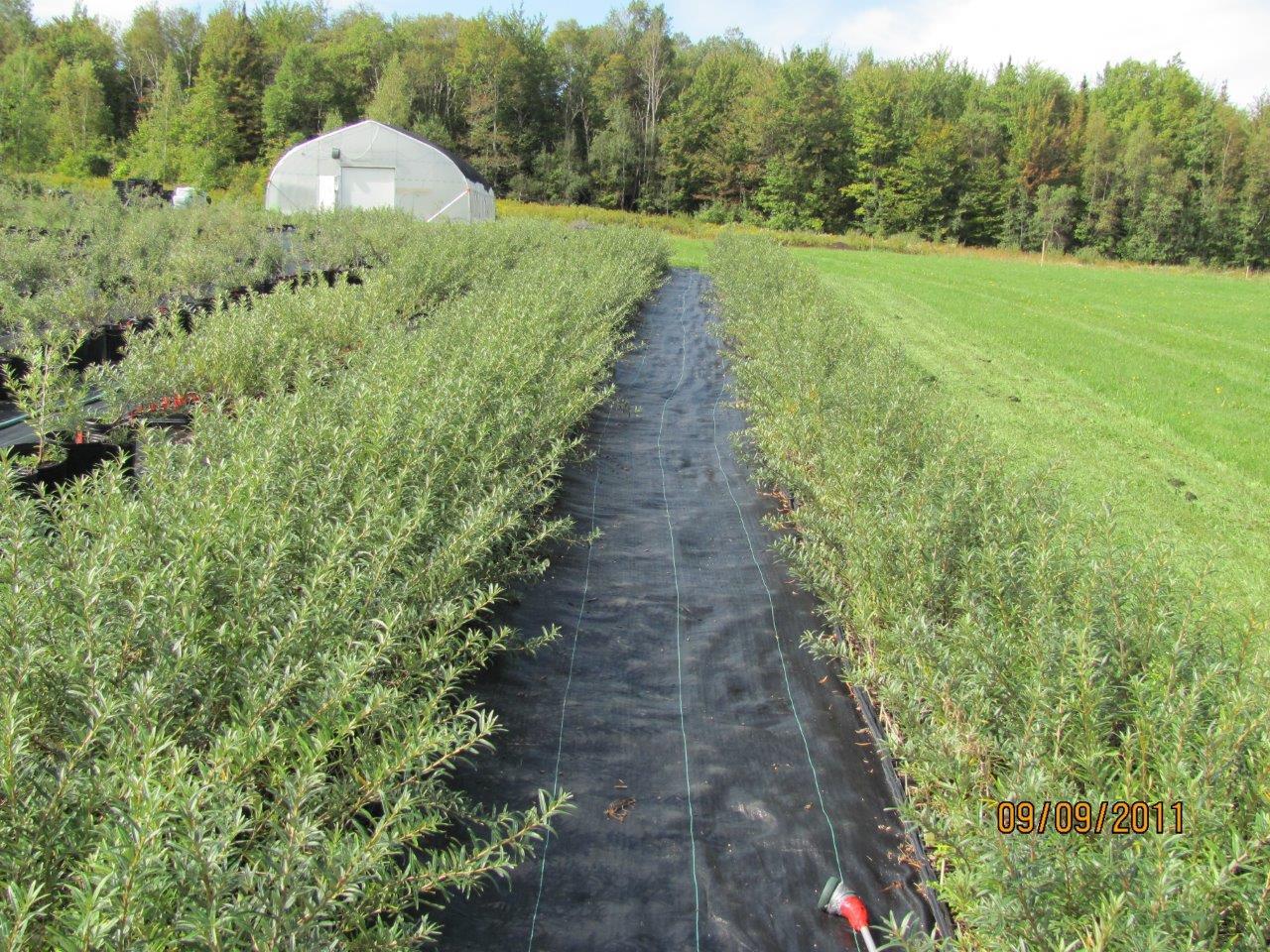 Plants d argousier vendre jardins de hatley - Plant de rhubarbe a vendre ...
